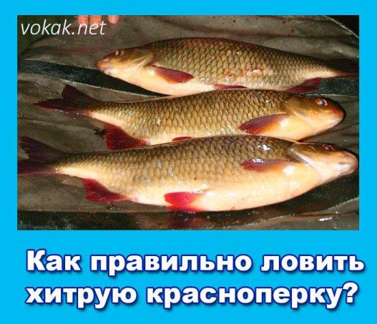 на что клюют красноперки рыбы